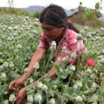 La amapola: un sueño para los pobres