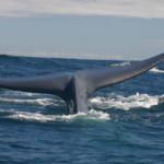 Chile: las ballenas azules, bajo asedio de barcos en la Patagonia