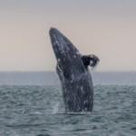 ¿Por qué han muerto 384 ballenas en costas de México, Estados Unidos y Canadá?