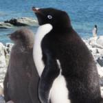 La bióloga latinoamericana que descubrió el origen de los pingüinos